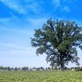 Photos: 「楡の木は残った」
