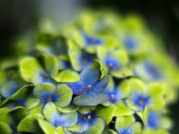 「立秋紫陽花」