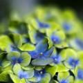 Photos: 「立秋紫陽花」