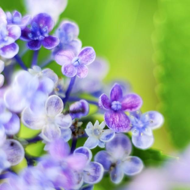 「続・立秋紫陽花 a 」