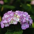 写真: 紫陽花とカエル