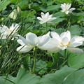 写真: はすの花