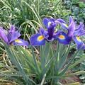 Photos: アイリスの花