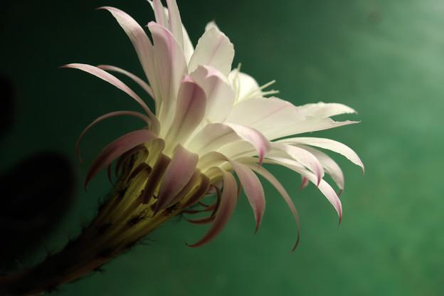 サボテンの花ー1