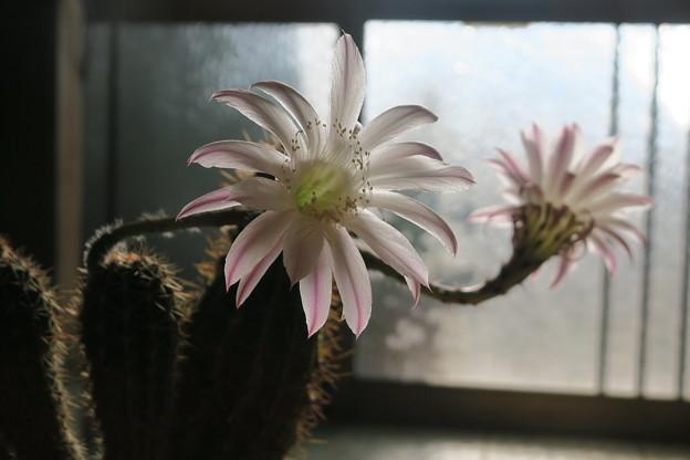 サボテンの花-2
