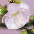 写真: 元旦に八重の白梅を咲かす(^^♪