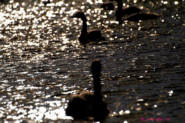 写真: 黄昏の琥珀(コハクチョウ)6