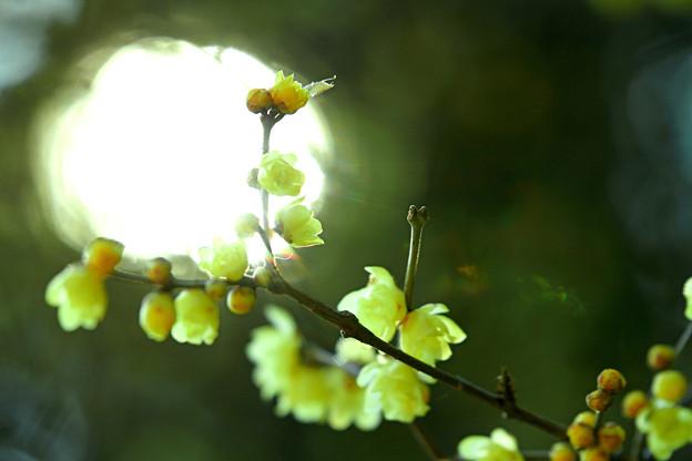 Yellow plum. Wax plum
