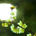 写真: Yellow plum. Wax plum
