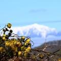 写真: 福寿草と北アルプス