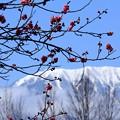 写真: 雪山(北アルプス)とコラボ梅