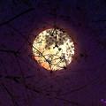写真: 十六夜桜