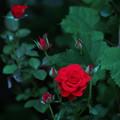 写真: 日陰の薔薇