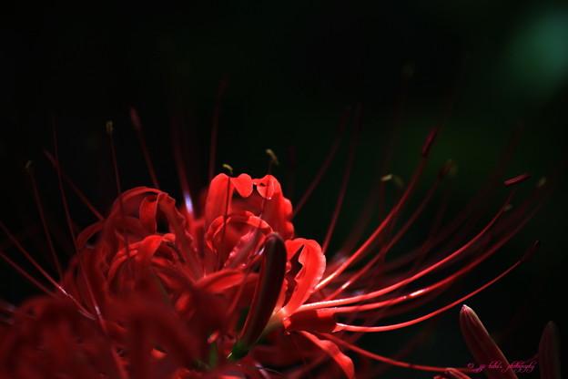 写真: 庭の彼岸花_2