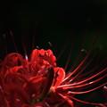 庭の彼岸花_2