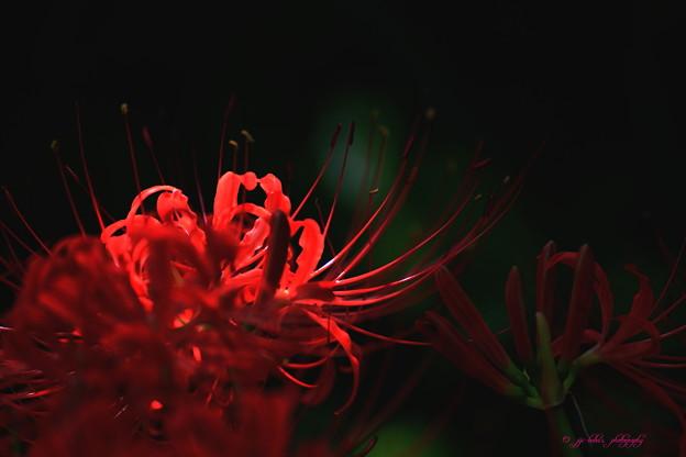 写真: 庭の彼岸花_3