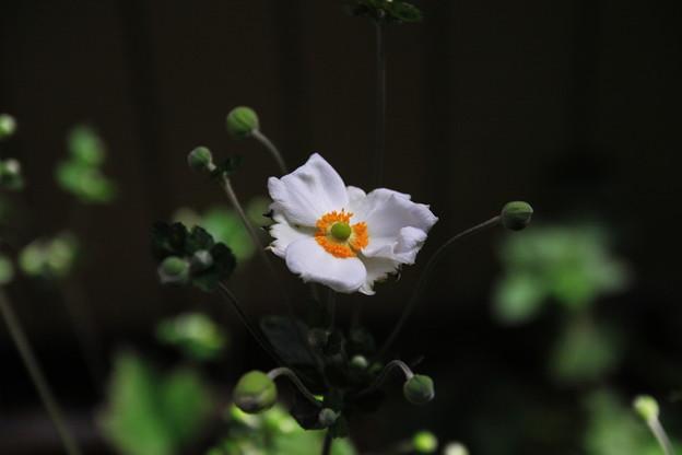 写真: 秋明菊一番花