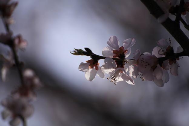 IMG_7463森の魯桃桜