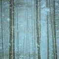 写真: 杉林雪景