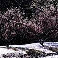 写真: 雪と梅林