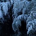 写真: 冬の竹林