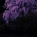 写真: 夕景桜