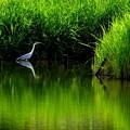 写真: 緑の水辺