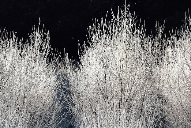 Photos: 凍樹