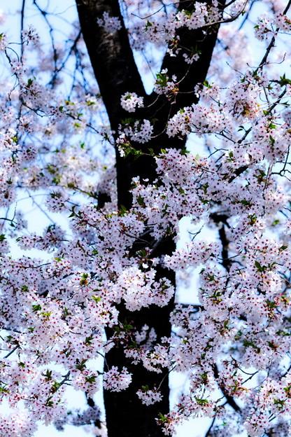 Photos: 桜咲く