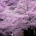 Photos: 桜見物