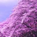 Photos: 平成の桜1