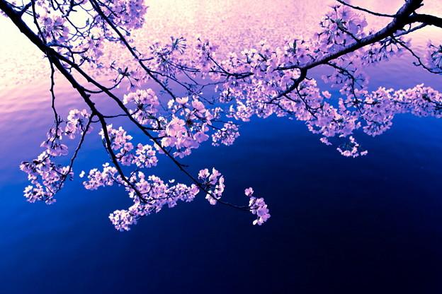 平成の桜2
