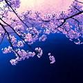Photos: 平成の桜2