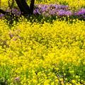 Photos: 黄色に染まる頃
