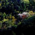 Photos: 山桜