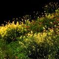 Photos: 斜面に咲く