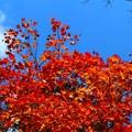 写真: 紅葉×紅葉