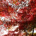 写真: 深 紅 葉