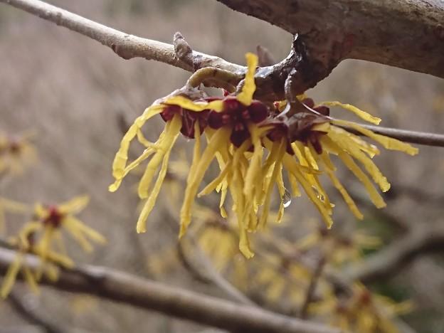 遅ればせながら満開にアセビも咲き始めました。
