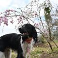 Photos: 散歩にて ~ 桜