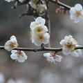 Photos: 団子梅。