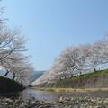 写真: 桜並木、両翼