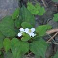 写真: ドクダミの花。