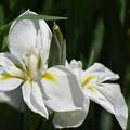 写真: 白い花菖蒲。
