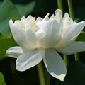 写真: 白きハスの花。