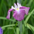 Photos: 紫の花菖蒲。
