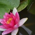 Photos: 赤いスイレンの花。