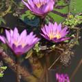 Photos: 紫の睡蓮です。