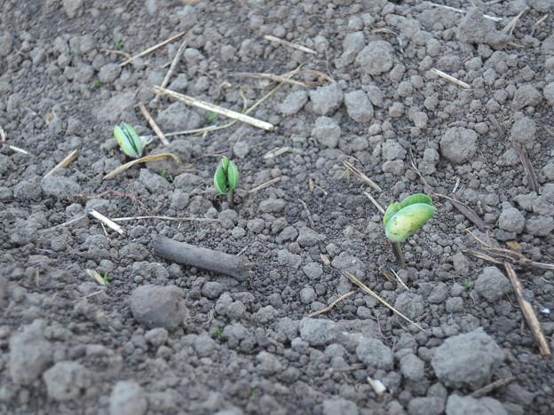 大豆芽を出す