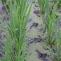 7月8日の稲